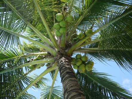 coconut-322424_1920.jpg